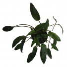 Cryptocoryne Beckettii Potted Plant